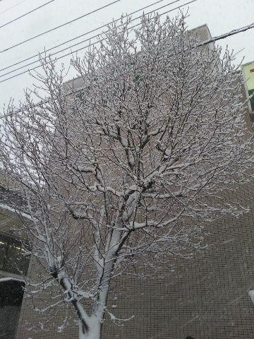 雪化粧のハクモクレン