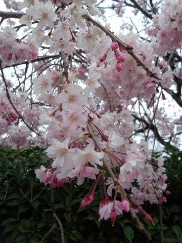 雨が降る前の枝垂れ桜