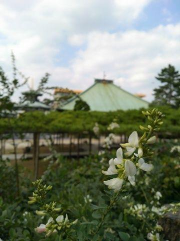 善養寺と白花萩