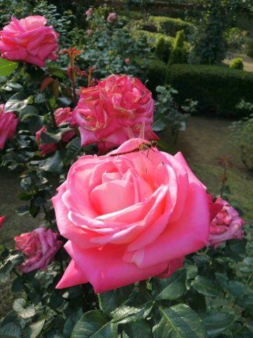 バラと赤とんぼ