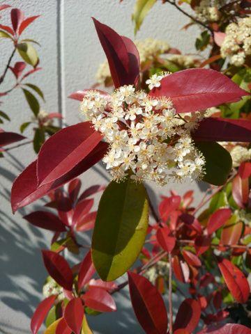 ベニカナメモチの花