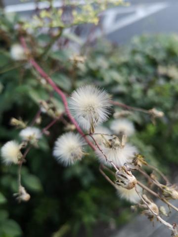 ノボロギクの綿毛