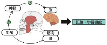 咀嚼機能と高次脳機能の連関メカニズム