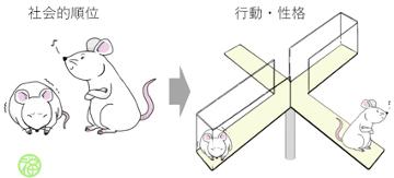 社会的順位がマウス個体の行動に影響を及ぼす